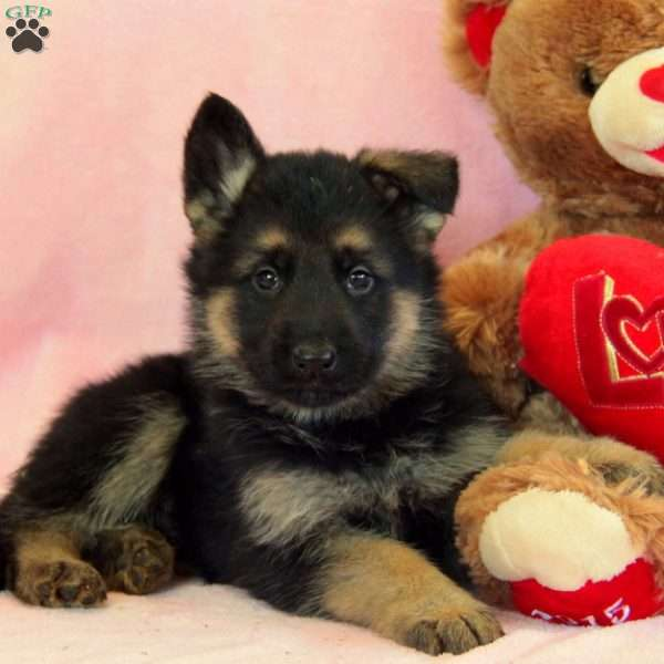 Crew, German Shepherd Puppy