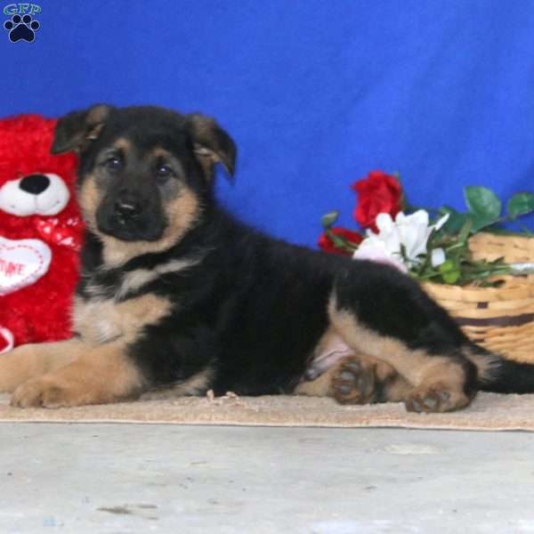 Damion, German Shepherd Puppy