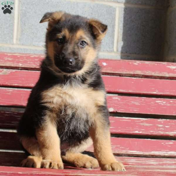 Darvin, German Shepherd Puppy