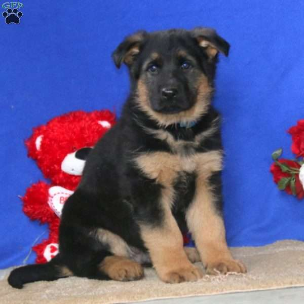 Daryl, German Shepherd Puppy