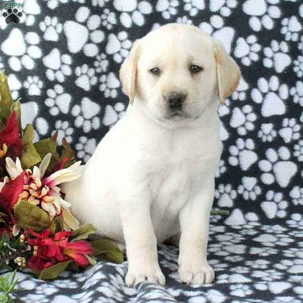 Davis, Yellow Labrador Retriever Puppy