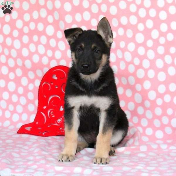 Dawn, German Shepherd Puppy