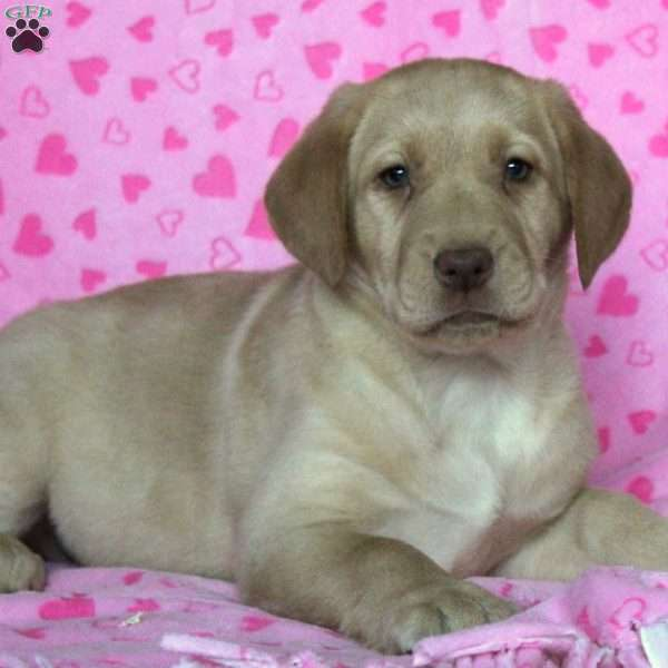 Destiny, Yellow Labrador Retriever Puppy