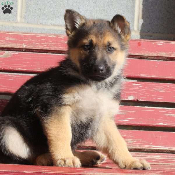 Devin, German Shepherd Puppy