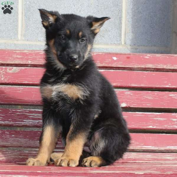 Dora, German Shepherd Puppy