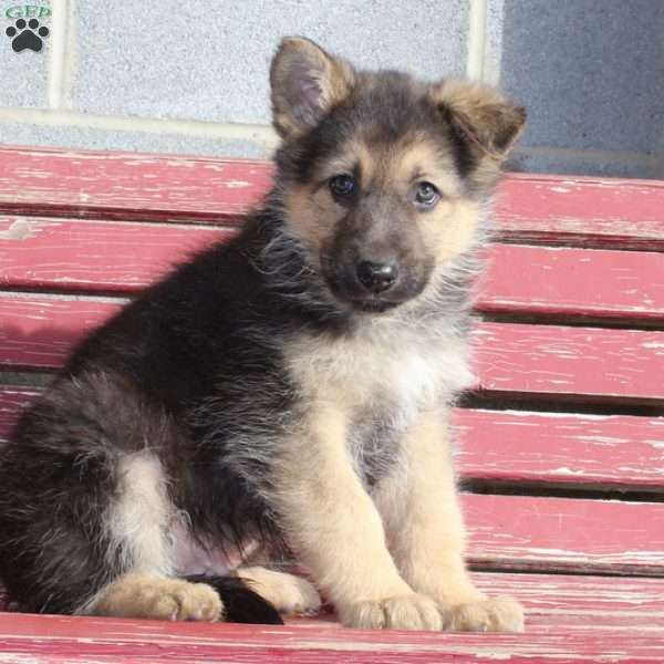 Duke, German Shepherd Puppy