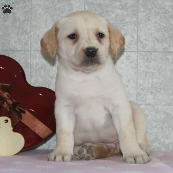 Echo, Yellow Labrador Retriever Puppy
