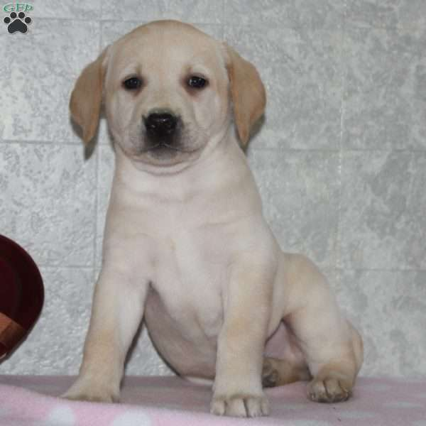 Eli, Yellow Labrador Retriever Puppy