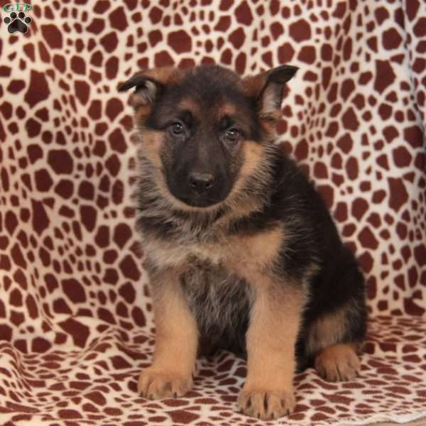 Ernie, German Shepherd Puppy