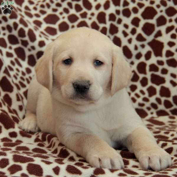Georgie, Yellow Labrador Retriever Puppy