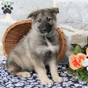 A German Shepherd Mix Puppy Named Harvest