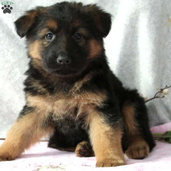 Izzy, German Shepherd Puppy