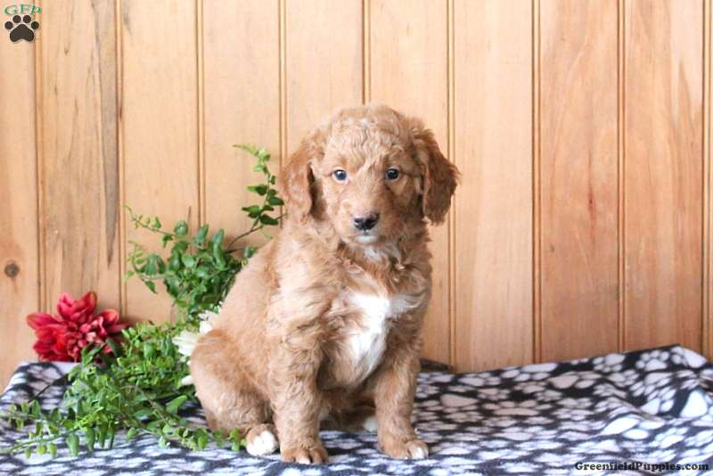 Jaylin Mini Golden Mountain Doodle Puppy For Sale In