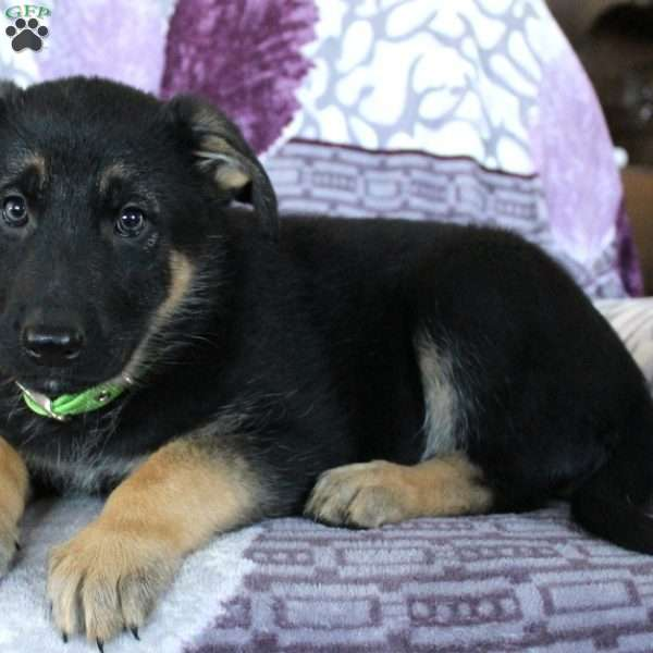 Jessica, German Shepherd Puppy