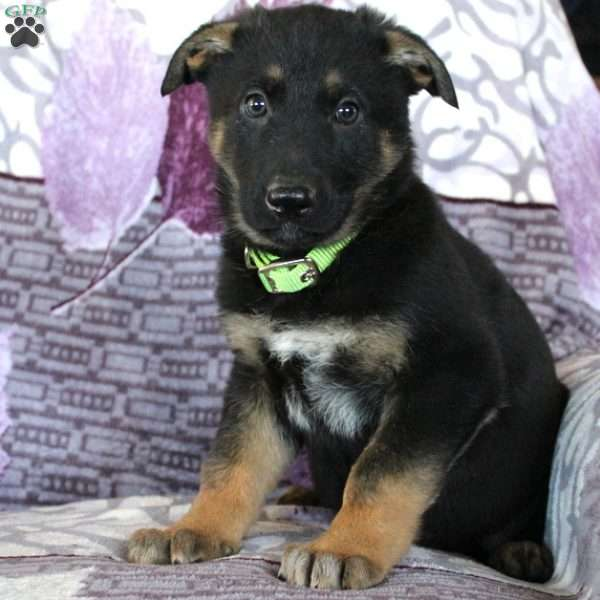 Jewel, German Shepherd Puppy