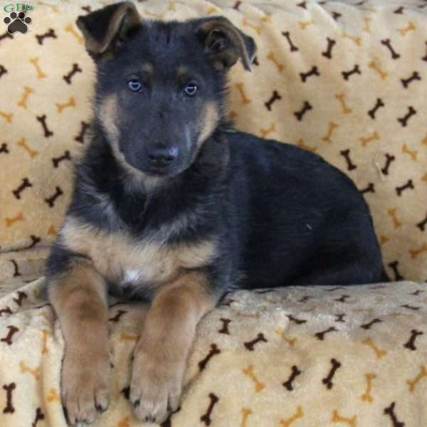 Julia, German Shepherd Puppy