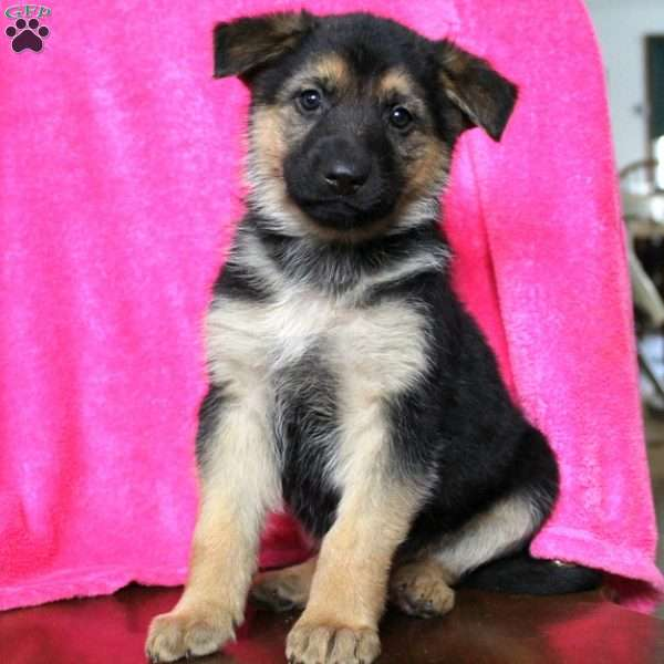 Katye, German Shepherd Puppy
