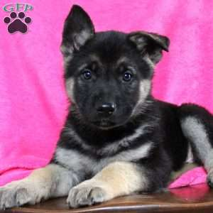 Kelsey, German Shepherd Puppy