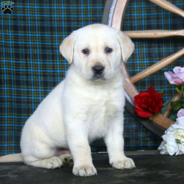 Kendall, Yellow Labrador Retriever Puppy