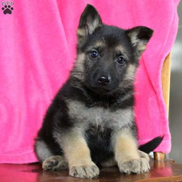 Krosby, German Shepherd Puppy