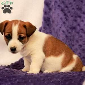a Jack Russell Terrier puppy named Lacey