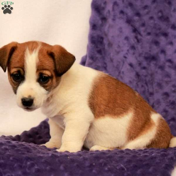 Lacey, Jack Russell Terrier Puppy
