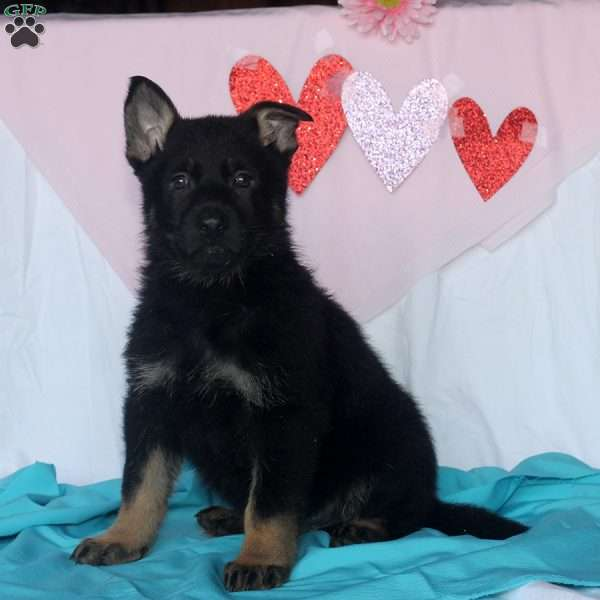 Laine, German Shepherd Puppy