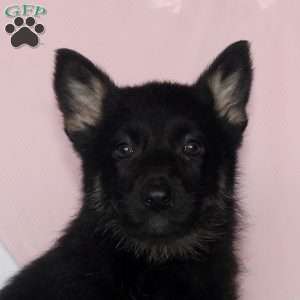 Layla, German Shepherd Puppy
