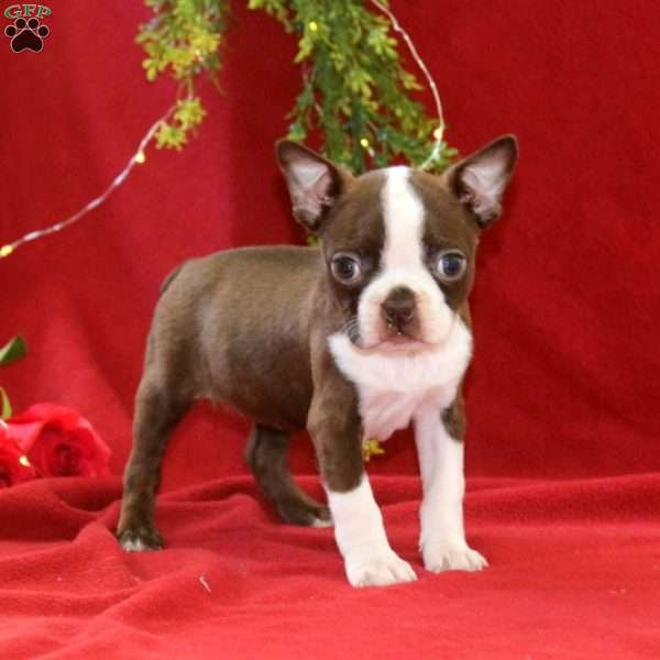 Lilac, Boston Terrier Puppy