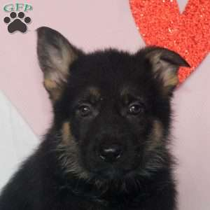 Lionel, German Shepherd Puppy