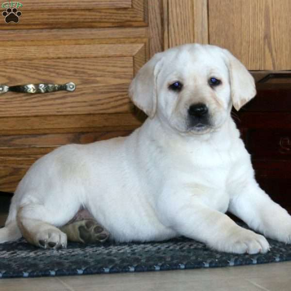 Loyal, Yellow Labrador Retriever Puppy