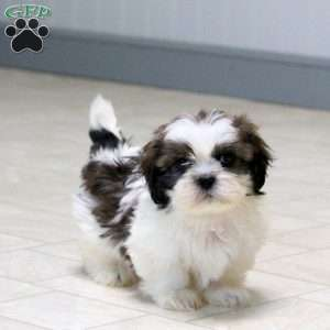 shih tzu puppies for sale in philadelphia shih tzu puppies for sale in de md ny nj philly dc and 5411