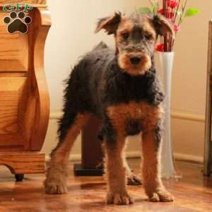 a Airedale Terrier puppy named Marcy