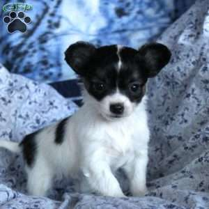 Chihuahua Puppies For Sale Chihuahua Breed Info