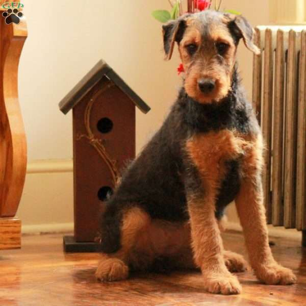 Maude Airedale Terrier Puppy For Sale In Pennsylvania