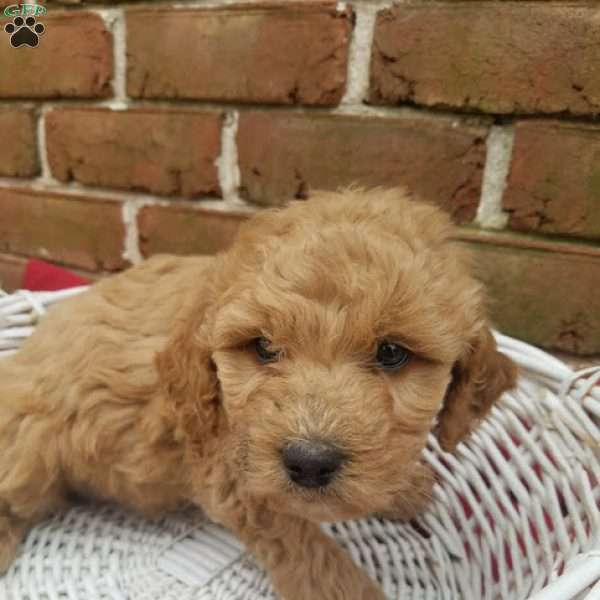 Mia, Goldendoodle Puppy