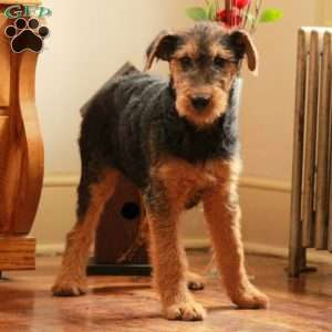a Airedale Terrier puppy named Millie