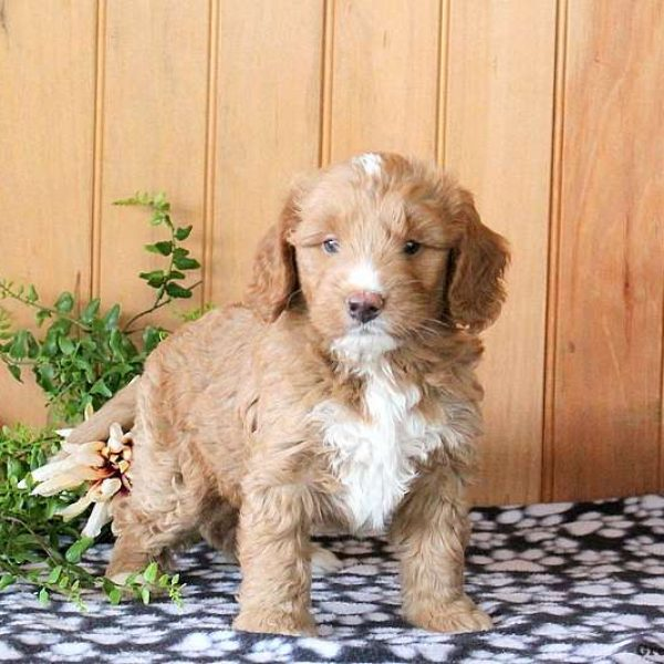 Golden Mountain Doodle-Miniature Puppy