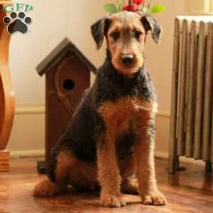 a Airedale Terrier puppy named Misha