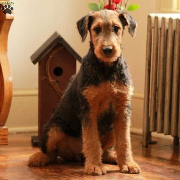 Misha Airedale Terrier Puppy For Sale In Pennsylvania
