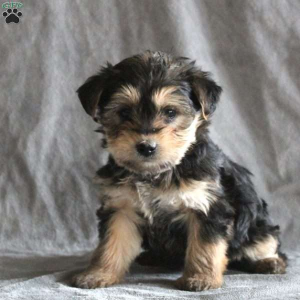 Molly, Yorkshire Terrier Puppy