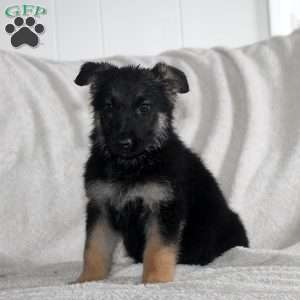 Octavia, German Shepherd Puppy