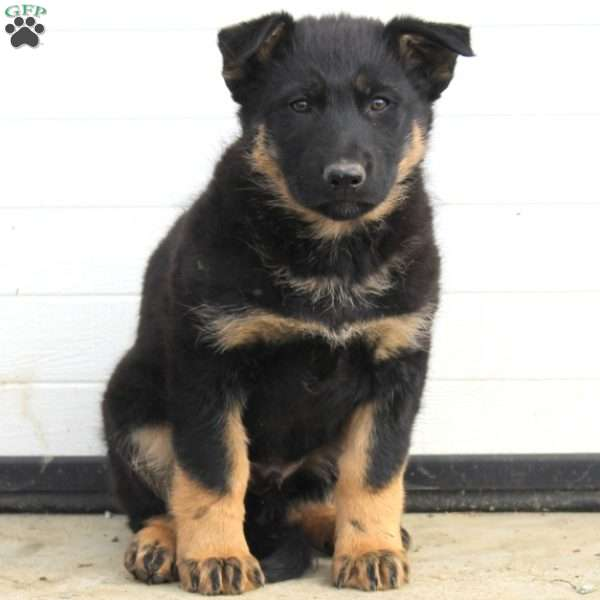 Oliver, German Shepherd Puppy