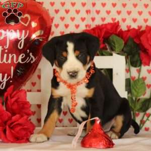 Paddington, Greater Swiss Mountain Dog Puppy