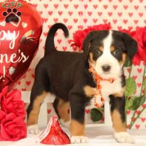 Paisley, Greater Swiss Mountain Dog Puppy