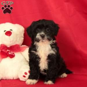 a Shorkie-Poo puppy named Pansy