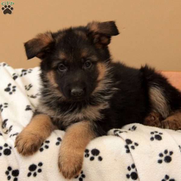 Parade, German Shepherd Puppy