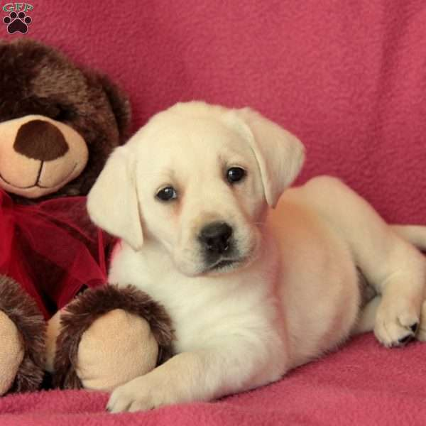 Paris, Yellow Labrador Retriever Puppy