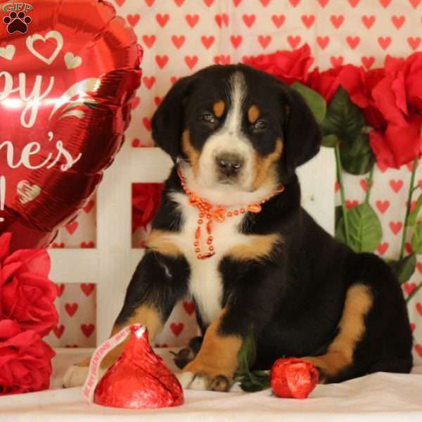 Payton, Greater Swiss Mountain Dog Puppy
