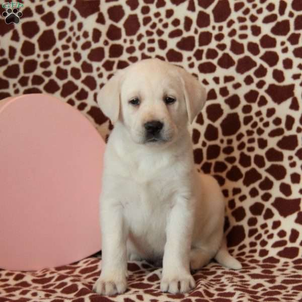 Pete, Yellow Labrador Retriever Puppy